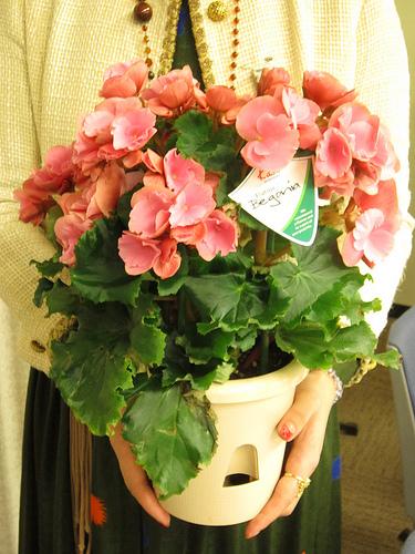 【母の日ギフト2012】定番人気のお花は「ベゴニア ボリアス」