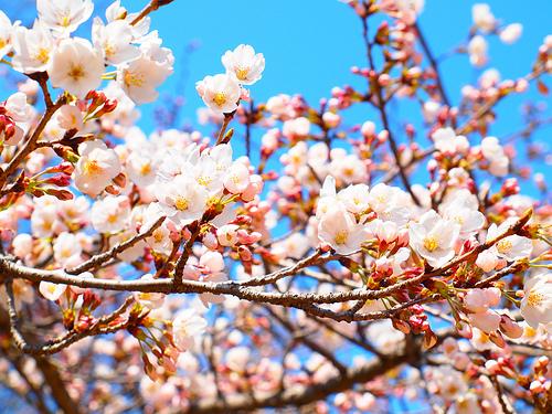 名古屋の桜は今週が見頃